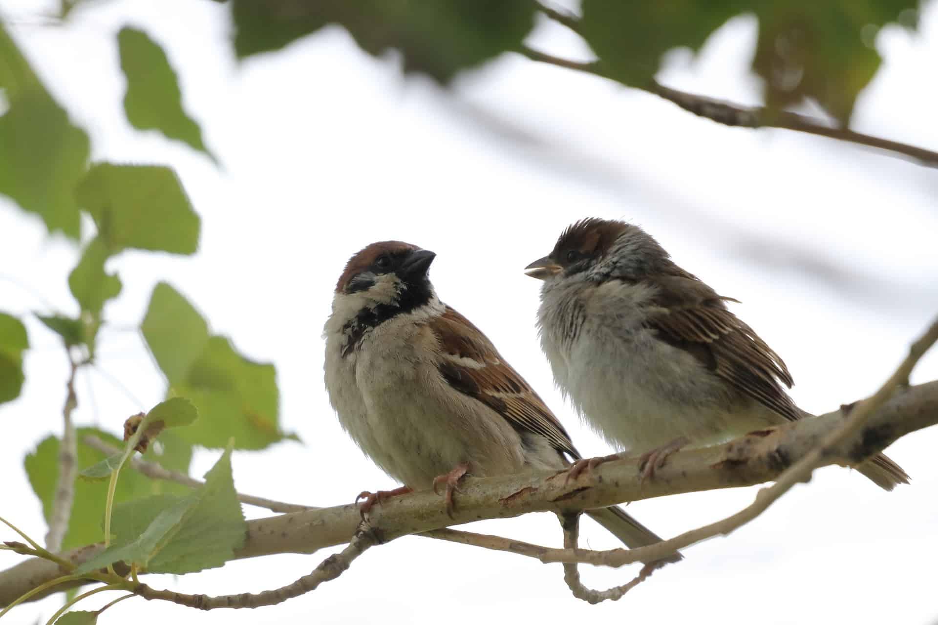 sparrows-4908725_1920